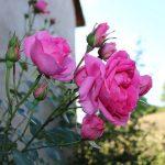 roses de la Siestou